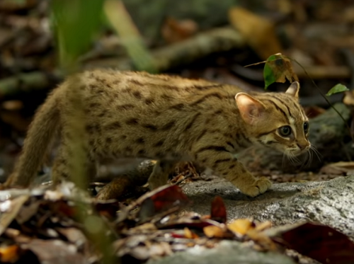 【海外の反応】こんなに小さいんだ…世界で一番小さな猫・サビイロネコ