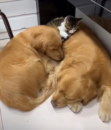 犬に乗っかって寝る猫6