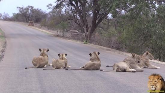 道路でくつろぐライオンの群れ2