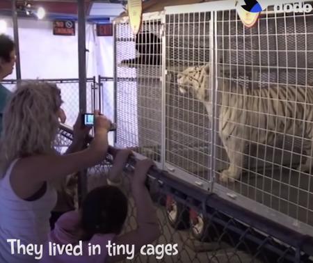 不自由な暮らしを送っていたライオンとトラ02