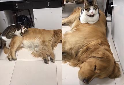 犬に乗っかって寝る猫1
