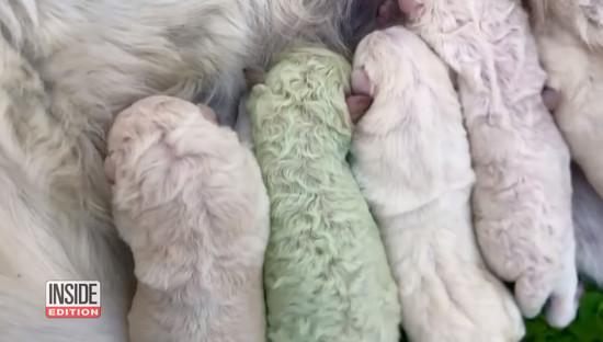 green-puppy2