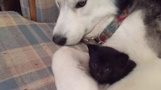 保護した子猫を見守る優しいハスキー犬
