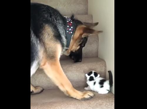 「こうやって登るんだよ」子猫に階段の登り方を教える優しいお兄ちゃん犬