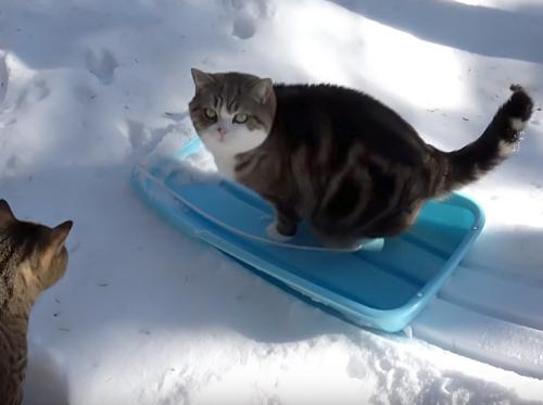 もう一回!もう一回!雪の上をソリですべるのが楽しくて何回もすべる可愛い猫