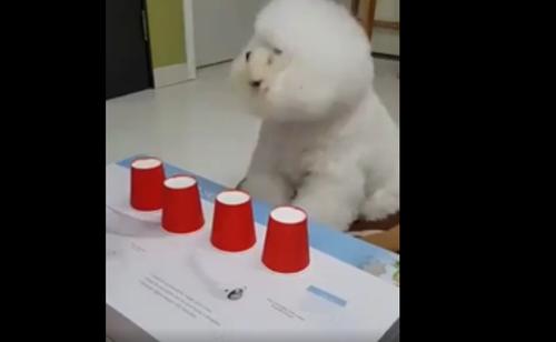 『どのコップに入っているか分かるかな?』おやつをかけて!もふもふな犬がシェルゲームに挑戦