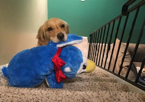 お気に入りのぬいぐるを持ってベッドに行く犬02