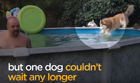 勢い余ってプールに飛び込んでしまったハスキー