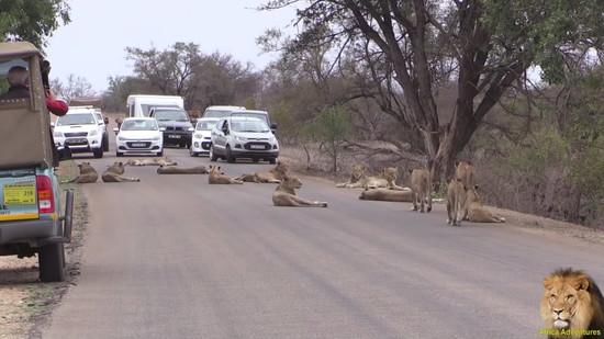 道路でくつろぐライオンの群れ6