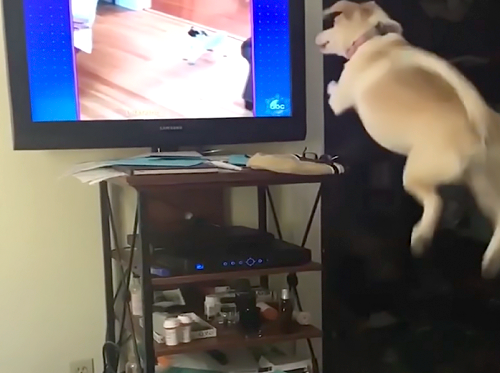 僕も一緒に遊びたい!TVに映っている仲間と遊びたくて何度も必死にダイブする可愛い犬