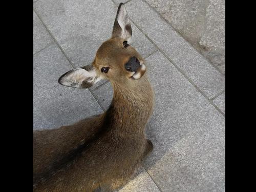 【海外の反応】『なんで黒い目なのにそんなに可愛いの?』日本の奈良の鹿に対する海外の反応