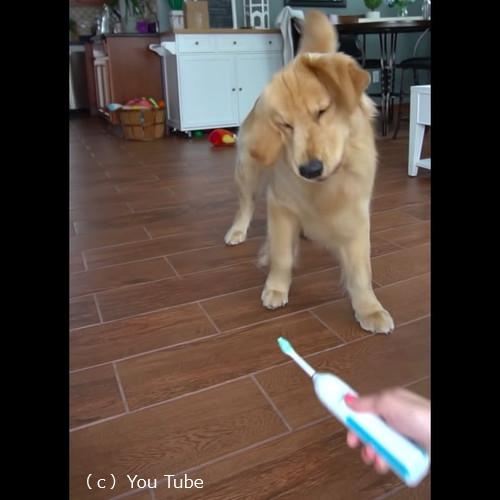 電動歯ブラシ対ゴールデンレトリーバー7