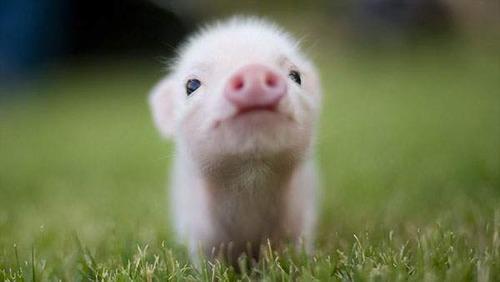 世界では豚年