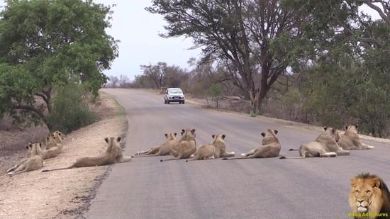 道路でくつろぐライオンの群れ3