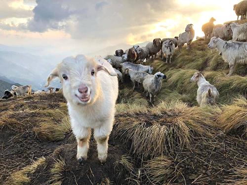 ヒマラヤ山脈に生息するヤギ