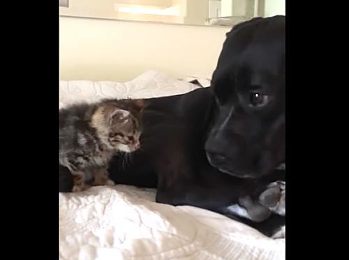 迷子の子猫のお兄ちゃんになった優しい大型犬