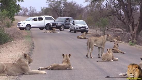 道路でくつろぐライオンの群れ4