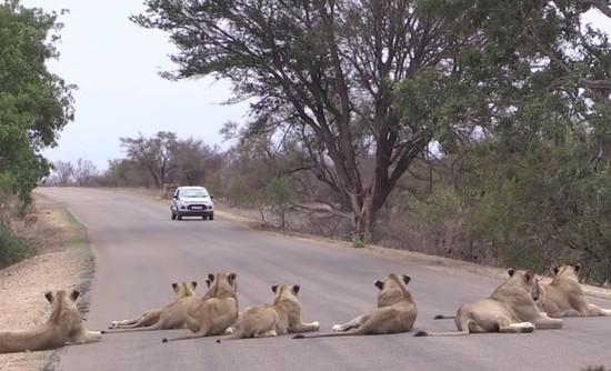 道路でくつろぐライオンの群れ