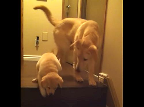 「こうやって降りるんだよ」子犬に階段の下り方を教えるお父さん犬