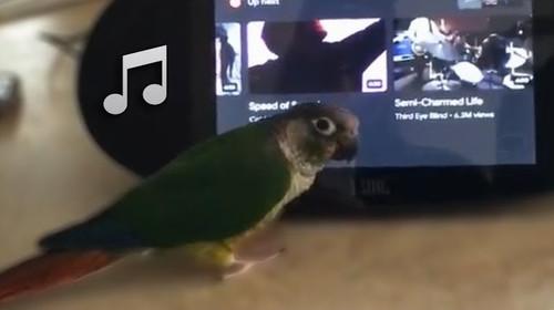 自分の好きな音楽をかけノリノリで踊り出すインコ