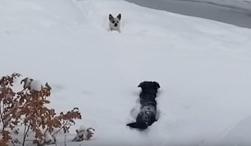 雪に埋もれて進めない犬を助けに行く犬