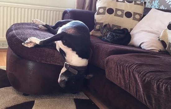 犬が豪快にソファから落ち一緒に寝ていた猫がビックリ