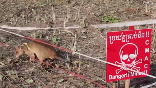 rat-gets-gold-medal2