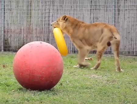 不自由な暮らしを送っていたライオンとトラ06