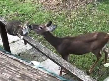 『やれやれ、しょうがないにゃあ~』鹿をペットにした猫
