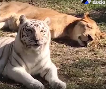 不自由な暮らしを送っていたライオンとトラ