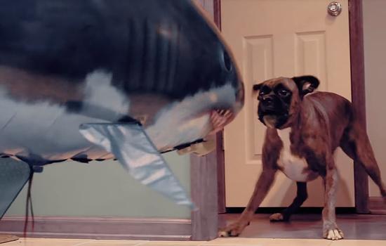 大きなサメ型バルーンを見たときボクサー犬の反応