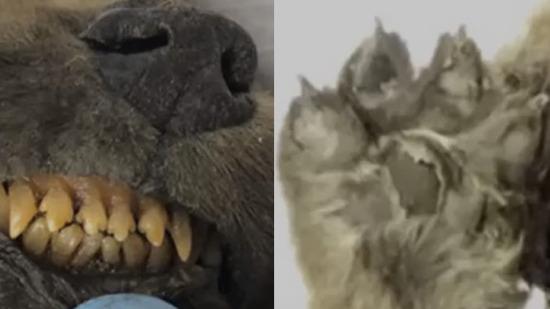 シベリア凍土のイヌ01