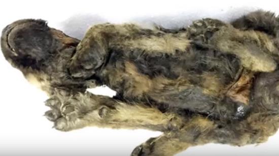 シベリア凍土のイヌ05