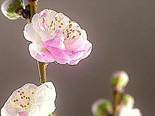 花もも 開花