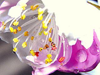 花もも 花 接写 雄しべ 雌しべ