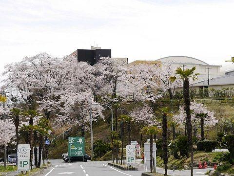 0411桜2