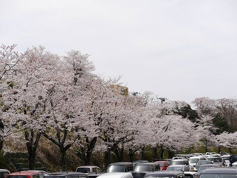 0411桜3