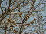 桜のつぼみ-4月6日-