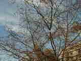 四季桜-3月24日
