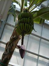 下に穂がついているバナナ