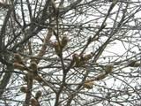 桜のつぼみ-4月7日-
