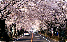 夜の森「桜のトンネル」