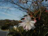 四季桜・花-3月24日