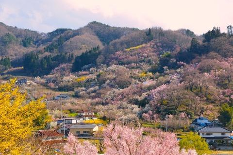 花見山(522KB)