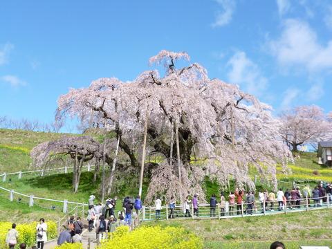 三春の滝桜(4.87MG)