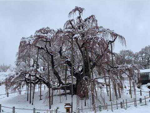 三春の滝桜2019.4.11