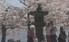 ワシントンDCの桜は韓国産?杜撰な取材で拡散する嘘