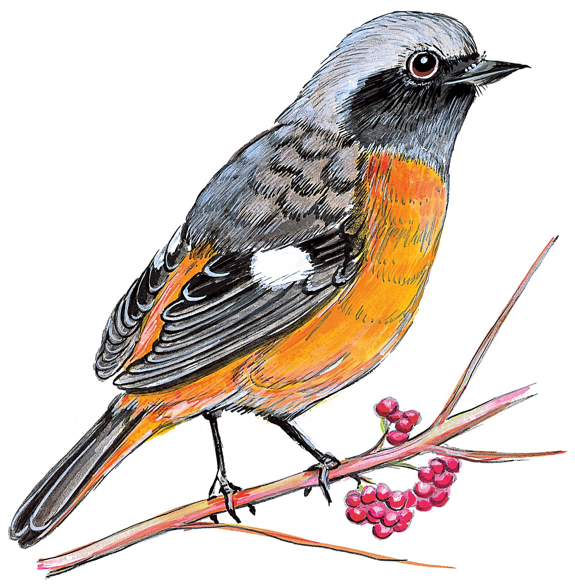 マヒワ 日本の鳥百科 サントリーの愛鳥活動