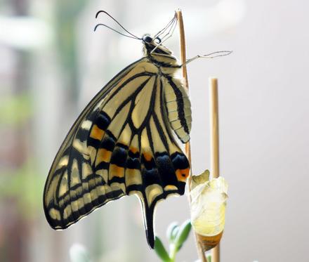 Papilio-xuthus-01