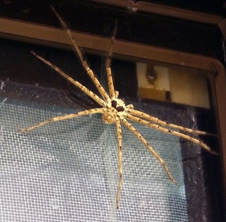 brown-huntsman-spider
